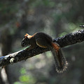 Red Squirrel by John Ricker