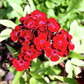 Red Sweet William by Christiane Schulze Art And Photography