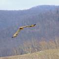 Red Tailed Hawk In Flight by Carolyn Postelwait