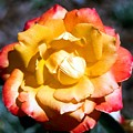 Red Tipped Yellow Rose by Dean  Triolo