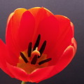 Red Tulip 4 by Anna Villarreal Garbis