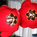 Red Tulip Duo by Will Borden