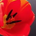 Red Tulip IIi by Anna Villarreal Garbis