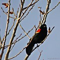 Red Winged Black Bird by KatagramStudios Photography