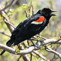 Red Winged Blackbird by Betsy LaMere