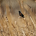 Red Winged Blackbird by Ernie Echols