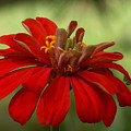 Red Zinnia by Racquel Morgan