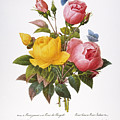 Redoute: Roses, 1833 by Granger