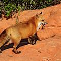Redtailed Fox by Dennis Hammer