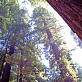 Redwood Forest 1 by Steve Ohlsen