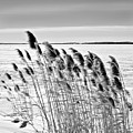 Reeds On A Frozen Lake by Peter Pauer