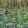 Reflections On Duck Pond by Sharon Talson