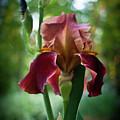 Regal Iris by Douglas Barnett