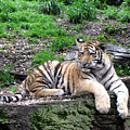 Relaxed Tiger Cub by George Jones