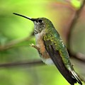 Resting Hummingbird by Sabrina L Ryan
