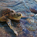 Resting Turtle by Sandra Shaw