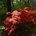 Rhododendron by Attila Balazs