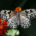Rice Paper Butterfly by Sabrina L Ryan