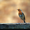 Robin 2 by Chris Day