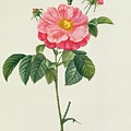 Rosa Gallica Flore Marmoreo by Pierre Joseph Redoute