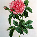 Rosa Gallica Regallis by Pierre Joseph Redoute