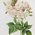 Rosa Noisettiana by Pierre Joseph Redoute
