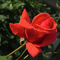Rose 03 by Arik Baltinester