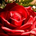 Rose For My Valentine by Thomas R Fletcher