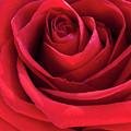 Rose Macro by Jim DeLillo