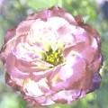 Rose by Maria Freeman