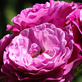 Rose Pink Purple Roses Flowers 1 Rose Garden Sunlit Flowers Baslee Troutman by Baslee Troutman