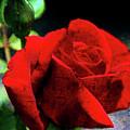 Roses Are Red My Love by Susanne Van Hulst