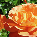 Roses Art Prints Orange Rose Flower 11 Giclee Prints Baslee Troutman by Baslee Troutman
