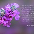 Rosy Lavender Sage Blossoms Phil.4 V 6-7 by Linda Phelps
