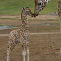 Rothschild Giraffe Giraffa by San Diego Zoo