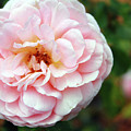 Round Ruffled And Pink by Mary Haber