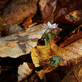 Rue Anemone At Sunrise by Michael Dougherty