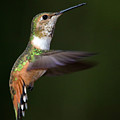 Rufous Hummingbird In Flight by Randall Ingalls