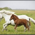 Running Horses.... by Gigja Einarsdottir
