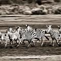 Running Zebras, Serengeti National by Carson Ganci