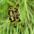 Ryothemis Dragonfly by Bob Kemp