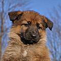 Sable German Shepherd Puppy II by Sandy Keeton
