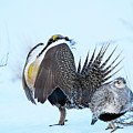 Sage Grouse by Dennis Hammer