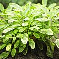 Sage Plant by Elena Elisseeva