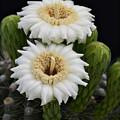 Saguaro Blooms II by Saija  Lehtonen