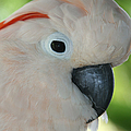 Salmon Crested Moluccan Cockatoo by Sharon Mau
