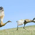 Sandhill Cranes Taking Flight by Gary Beeler