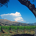 Santa Ynez Vineyard View by Kathy Yates