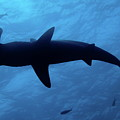 Scalloped Hammerhead Shark Underwater View by Sami Sarkis