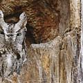 Screech Owl In Hole by Michael Cummings